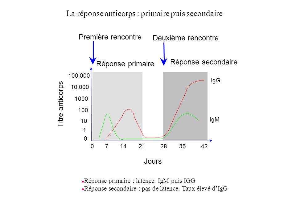 La réponse anticorps : primaire puis secondaire