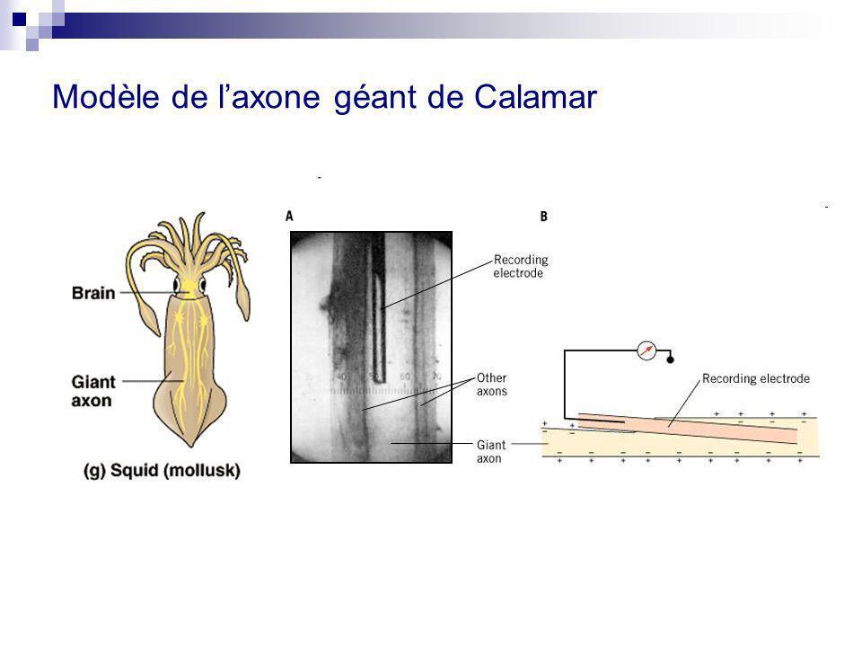 Modèle de l'axone géant de Calamar