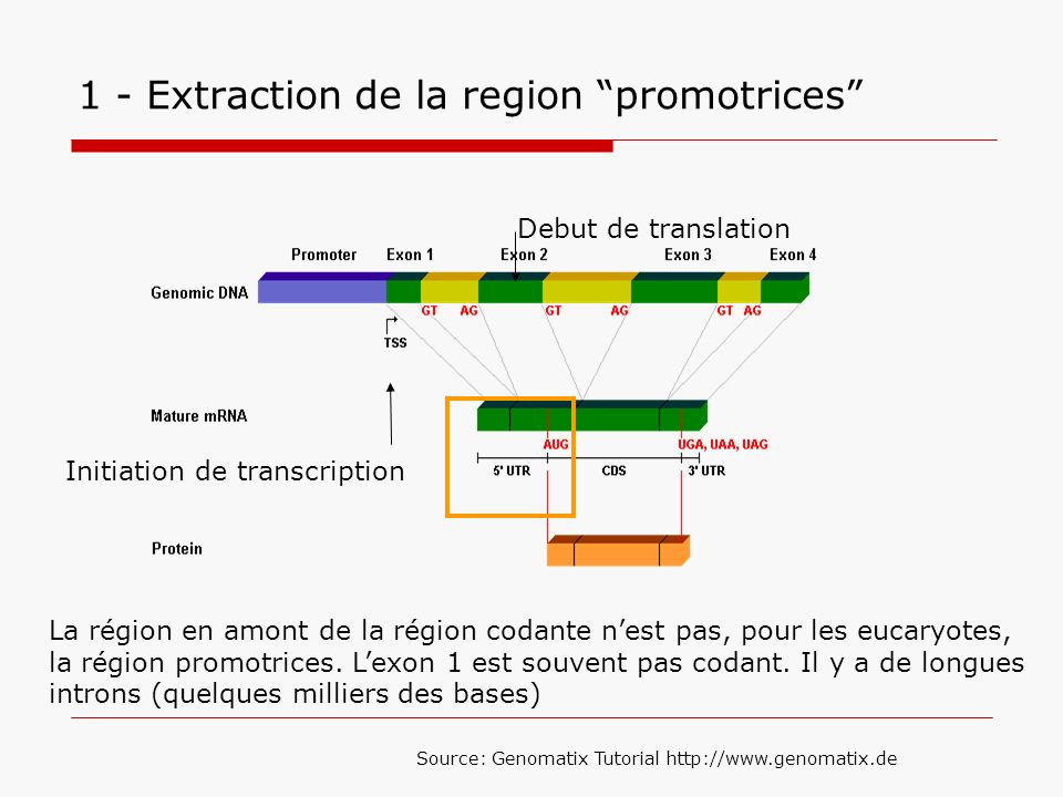 1 - Extraction de la region promotrices
