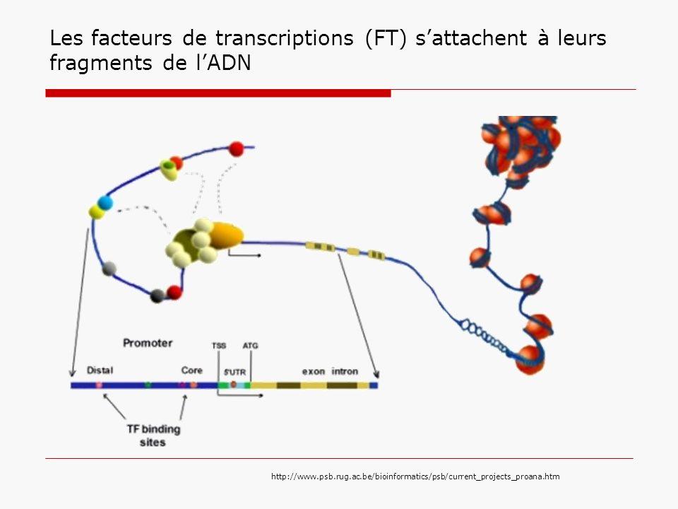 Les facteurs de transcriptions (FT) s'attachent à leurs fragments de l'ADN