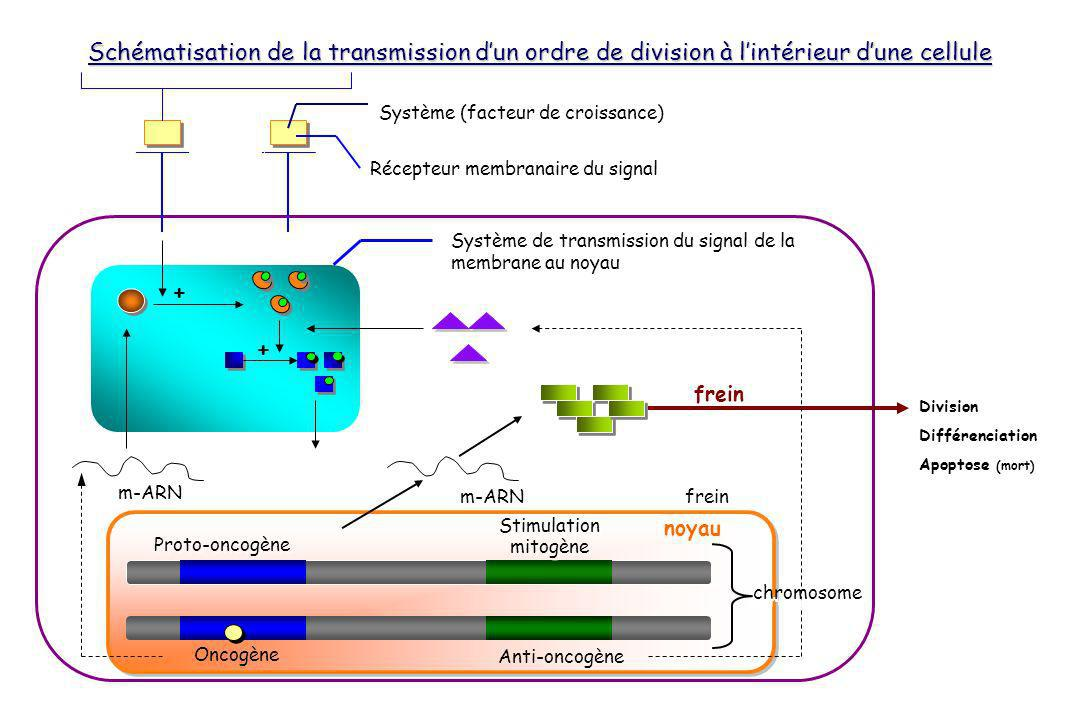 Schématisation de la transmission d'un ordre de division à l'intérieur d'une cellule
