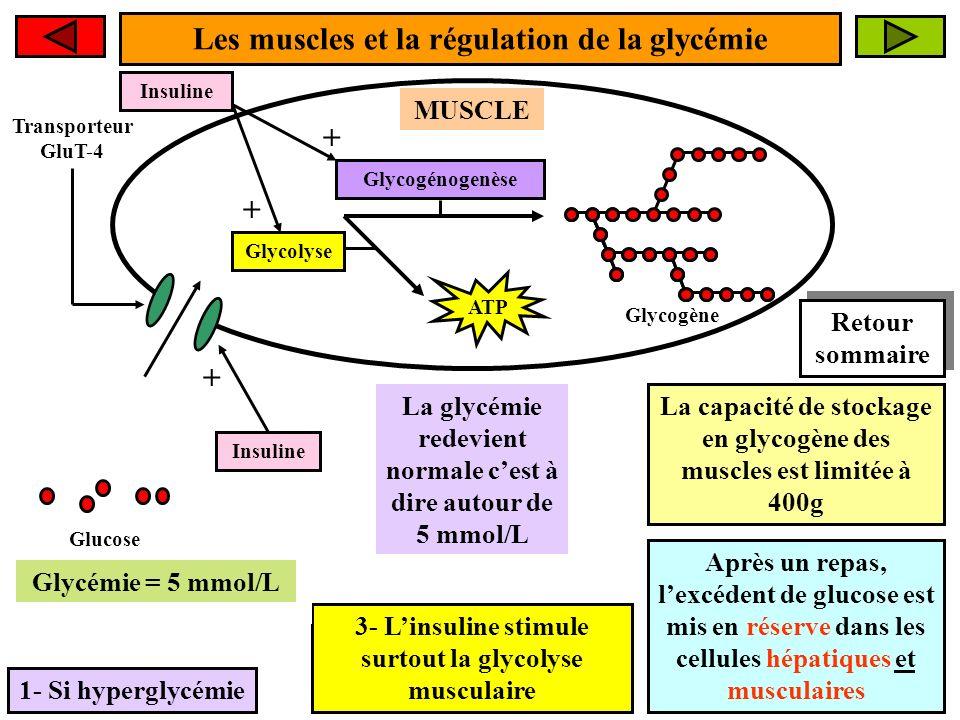 Les muscles et la régulation de la glycémie + + +