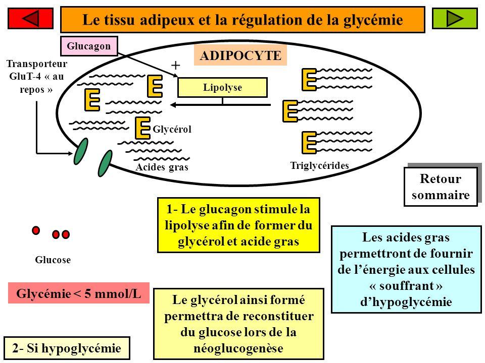 Le tissu adipeux et la régulation de la glycémie