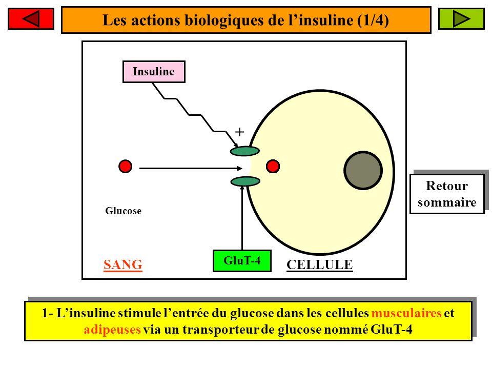 Les actions biologiques de l'insuline (1/4)