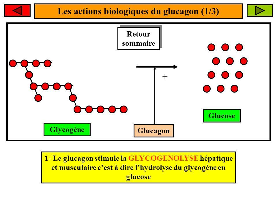 Les actions biologiques du glucagon (1/3)
