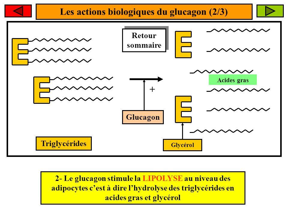 Les actions biologiques du glucagon (2/3)