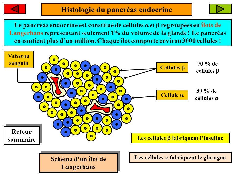Histologie du pancréas endocrine