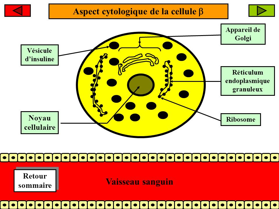 Aspect cytologique de la cellule 