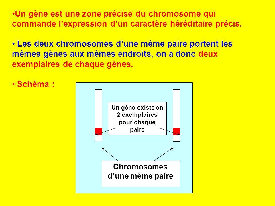 Un gène existe en 2 exemplaires Chromosomes d'une même paire