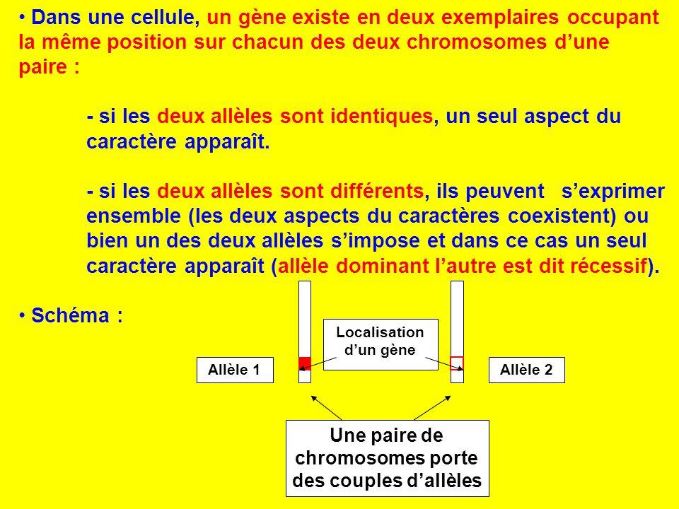 Dans une cellule, un gène existe en deux exemplaires occupant la même position sur chacun des deux chromosomes d'une paire :