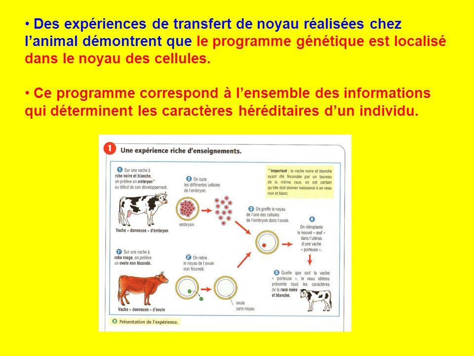 Des expériences de transfert de noyau réalisées chez l'animal démontrent que le programme génétique est localisé dans le noyau des cellules.