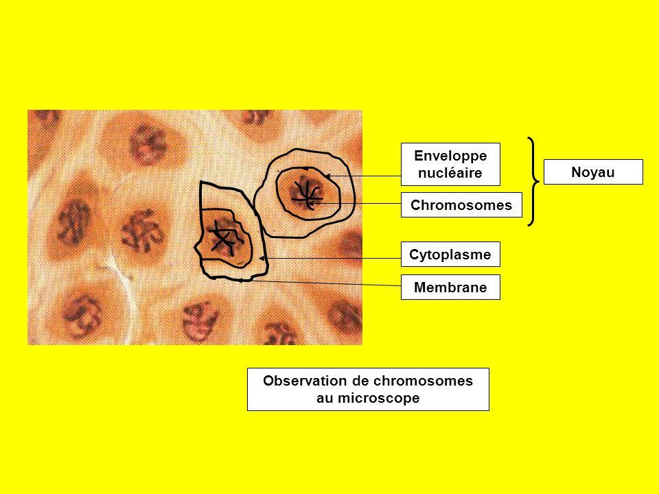 Observation de chromosomes au microscope