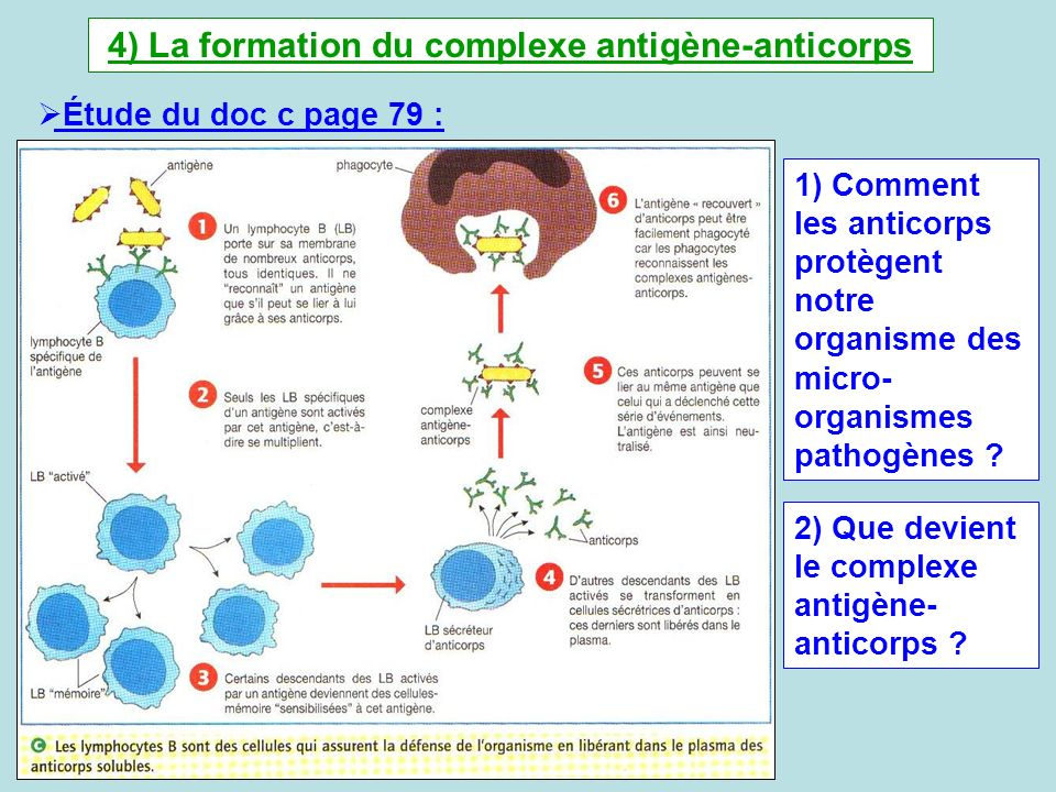 4) La formation du complexe antigène-anticorps