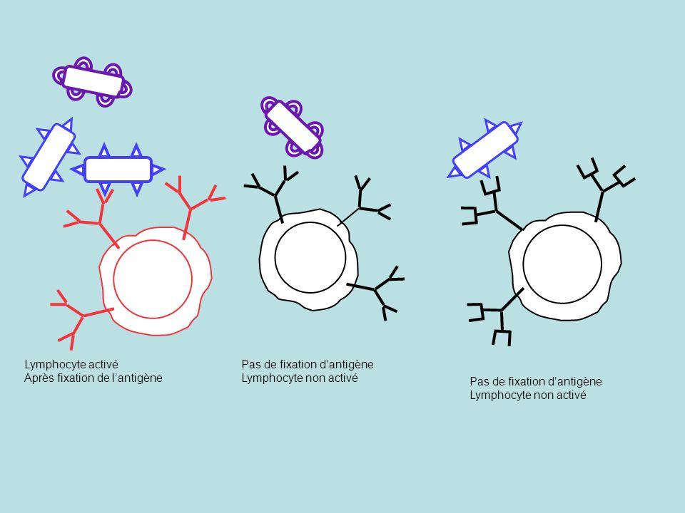 Lymphocyte activé Après fixation de l'antigène. Pas de fixation d'antigène. Lymphocyte non activé.