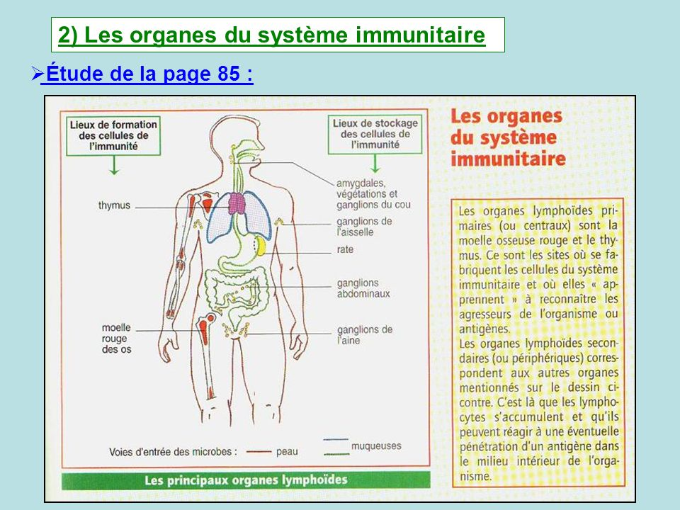2) Les organes du système immunitaire