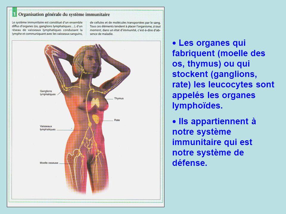 Les organes qui fabriquent (moelle des os, thymus) ou qui stockent (ganglions, rate) les leucocytes sont appelés les organes lymphoïdes.