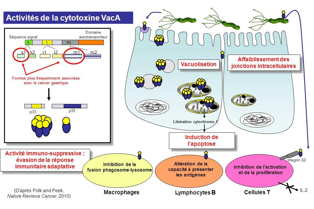 Activités de la cytotoxine VacA