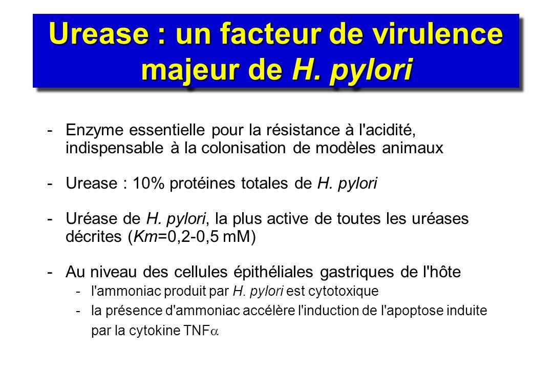 Urease : un facteur de virulence majeur de H. pylori