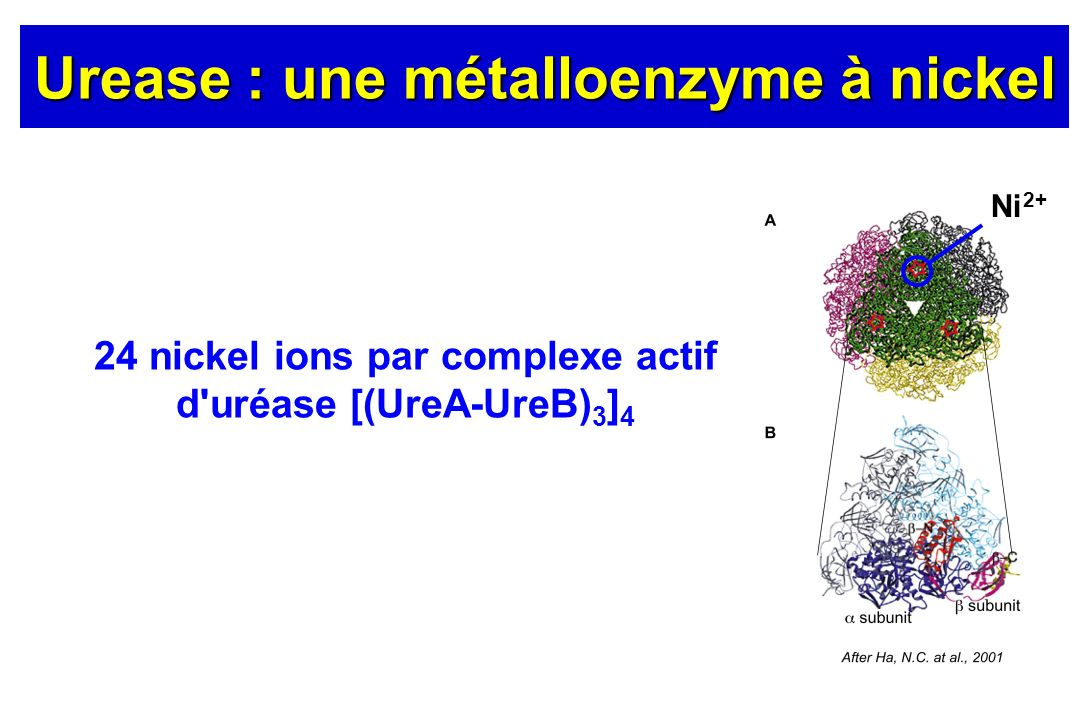 Urease : une métalloenzyme à nickel