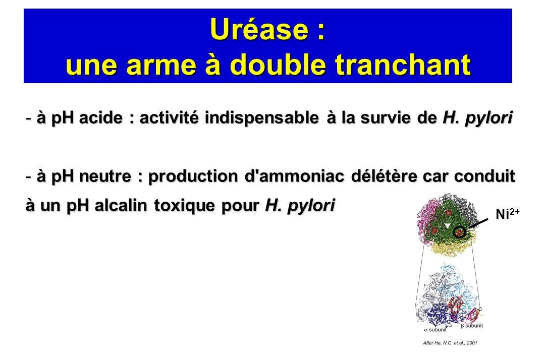 Uréase : une arme à double tranchant