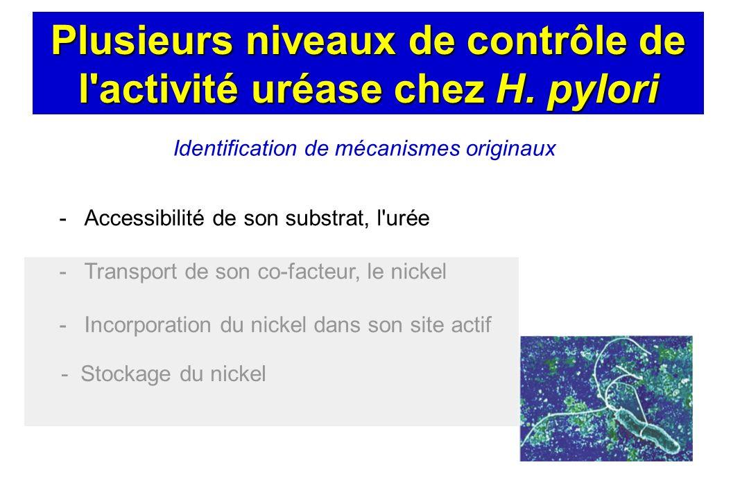 Plusieurs niveaux de contrôle de l activité uréase chez H. pylori