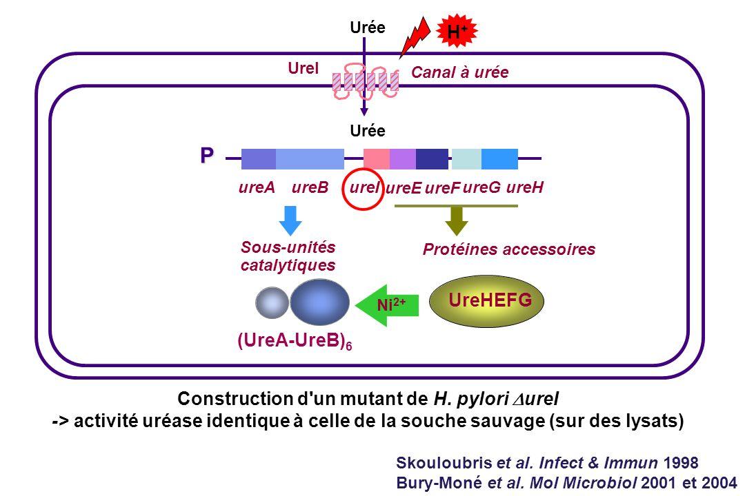 P H+ UreHEFG (UreA-UreB)6 Construction d un mutant de H. pylori DureI