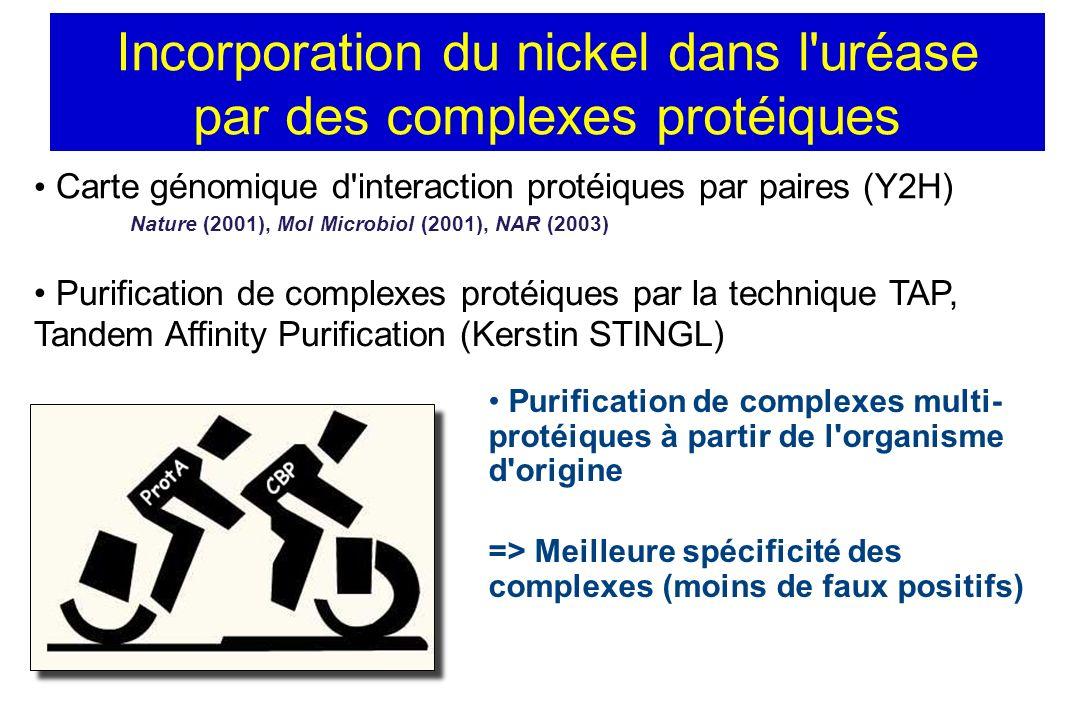Incorporation du nickel dans l uréase par des complexes protéiques