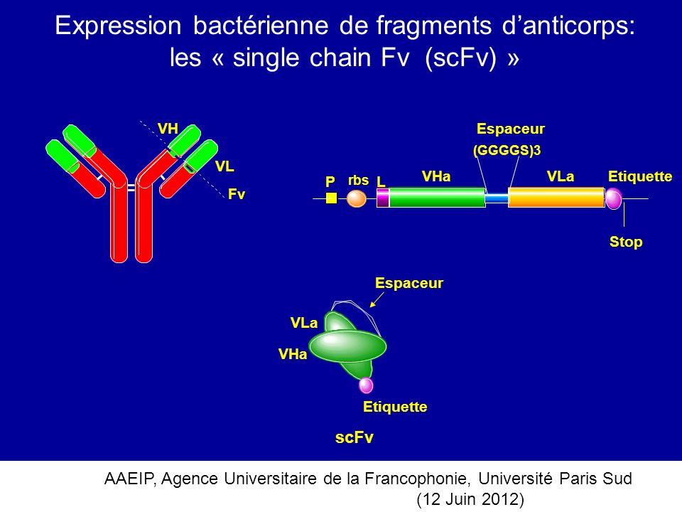 Expression bactérienne de fragments d'anticorps: les « single chain Fv (scFv) »