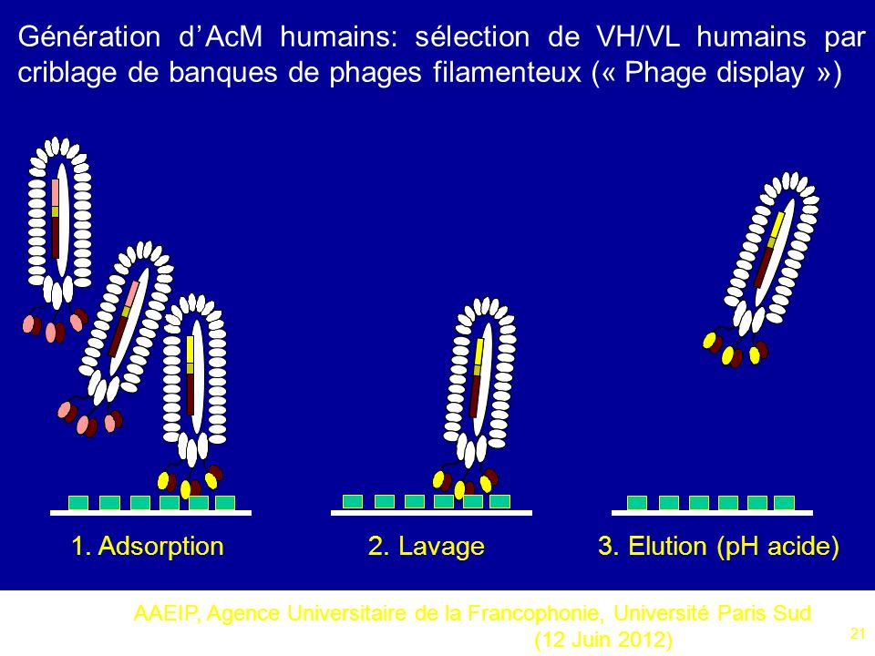 Génération d'AcM humains: sélection de VH/VL humains par criblage de banques de phages filamenteux (« Phage display »)