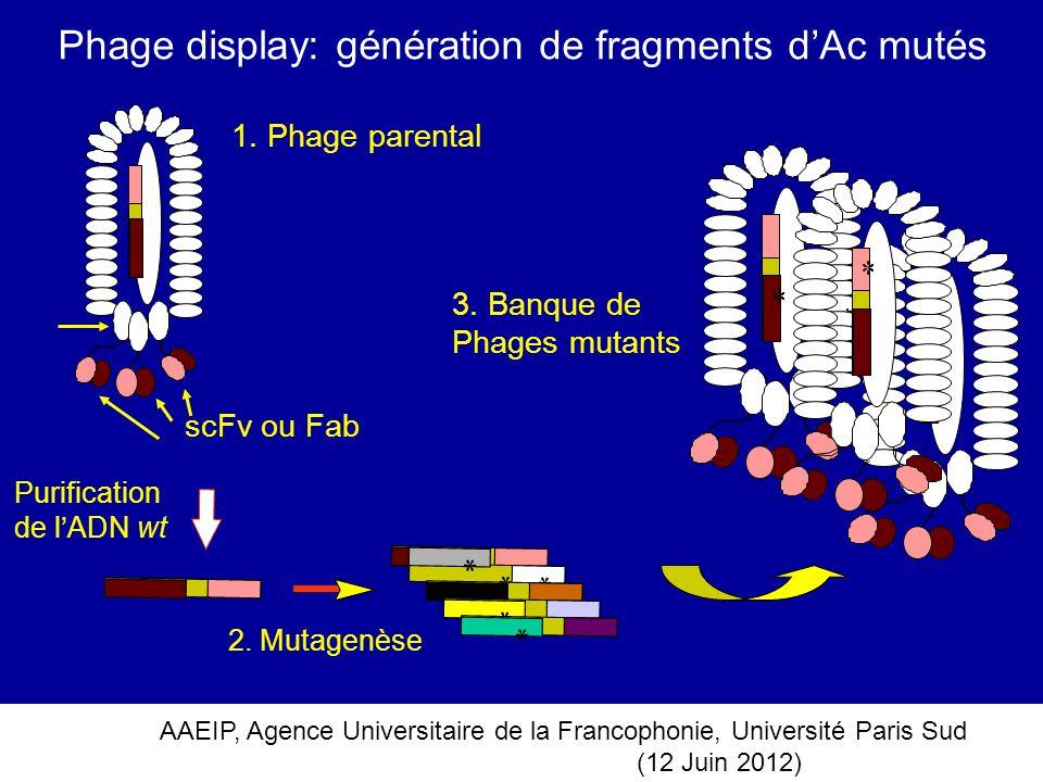 Phage display: génération de fragments d'Ac mutés