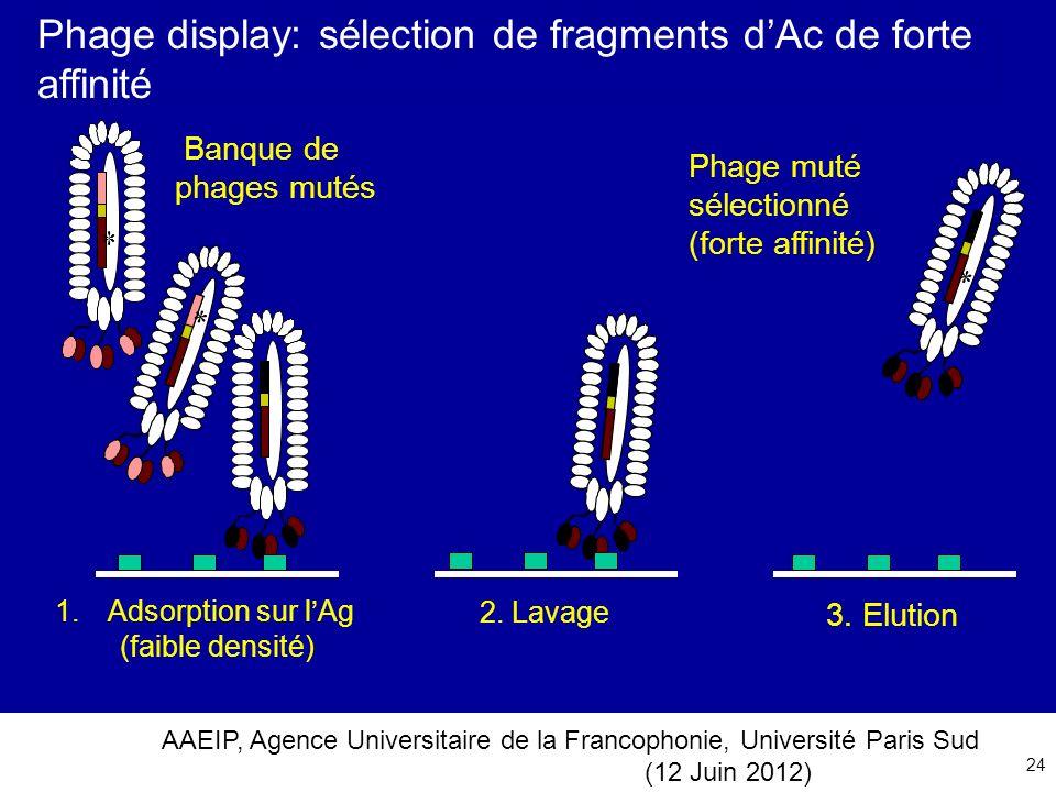 Phage display: sélection de fragments d'Ac de forte affinité