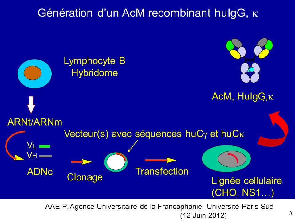 Génération d'un AcM recombinant huIgG, 