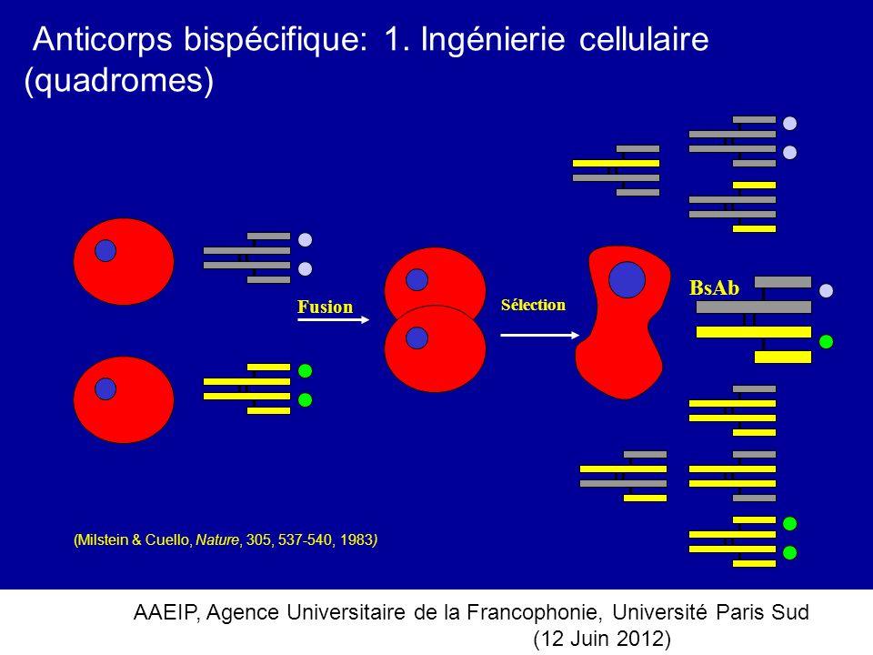 Anticorps bispécifique: 1. Ingénierie cellulaire (quadromes)