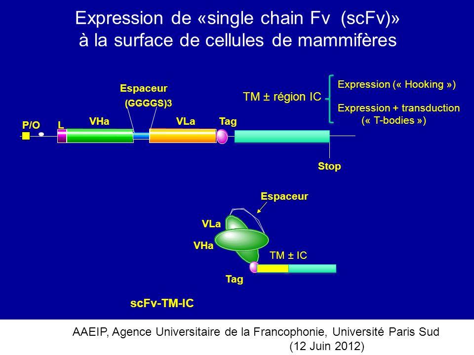Expression de «single chain Fv (scFv)» à la surface de cellules de mammifères