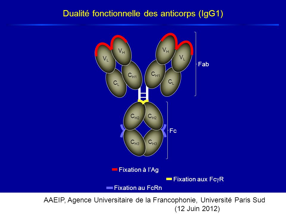 Dualité fonctionnelle des anticorps (IgG1)