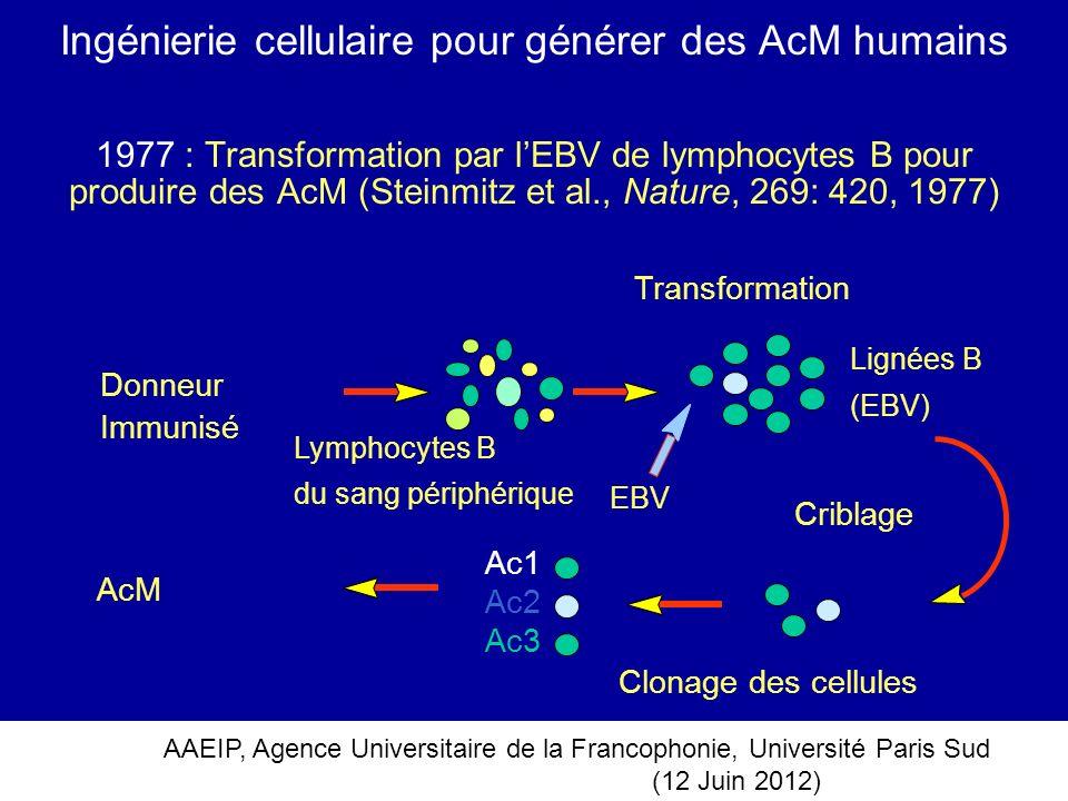 Ingénierie cellulaire pour générer des AcM humains
