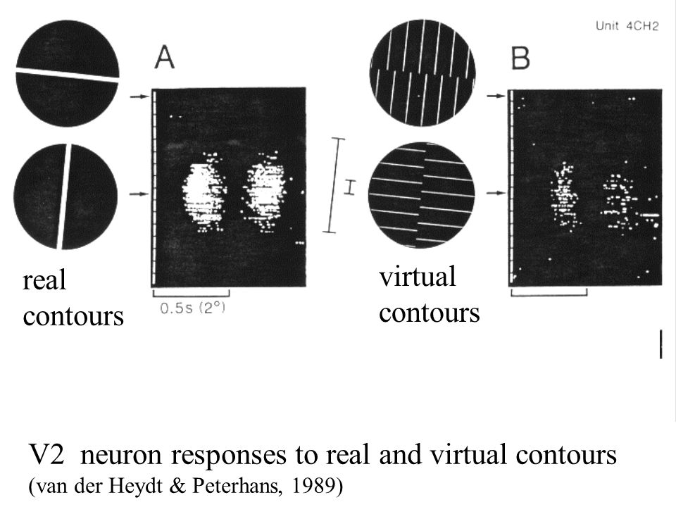 V2 neuron responses to real and virtual contours