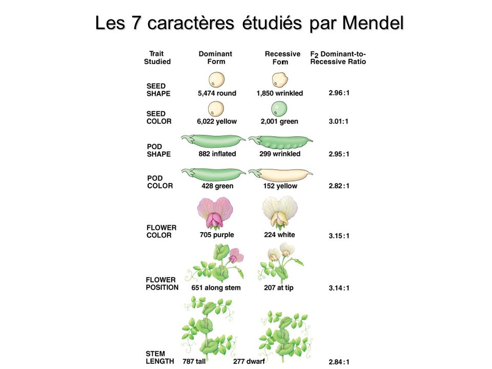 Les 7 caractères étudiés par Mendel