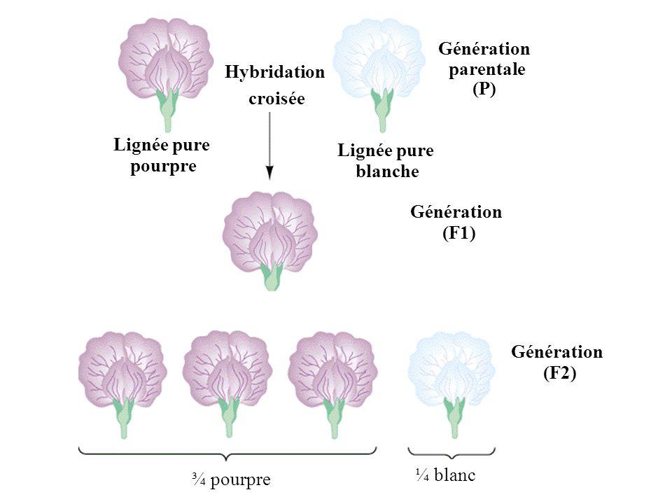 Hybridationcroisée. Génération. parentale. (P) Lignée pure. pourpre. (F1) Hybride (F1) Fleurs pourpres.