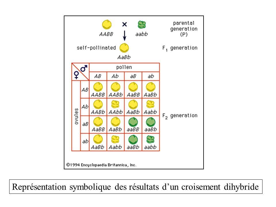 Représentation symbolique des résultats d'un croisement dihybride
