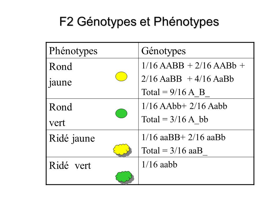 F2 Génotypes et Phénotypes