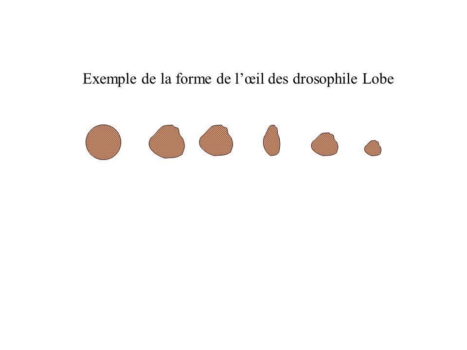 Exemple de la forme de l'œil des drosophile Lobe