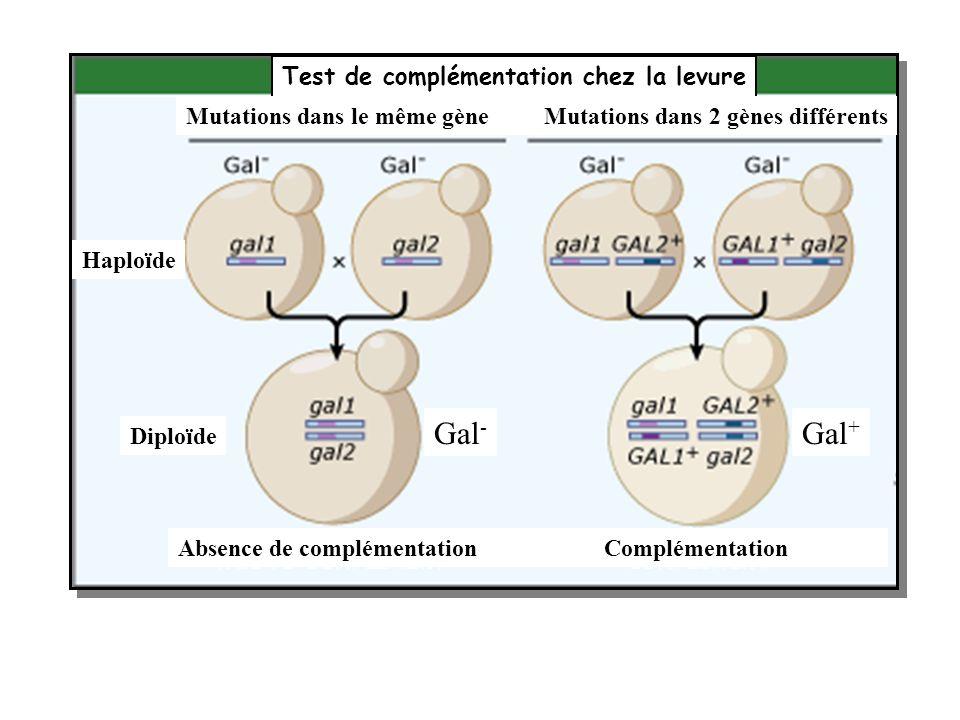 Gal- Gal+ Test de complémentation chez la levure