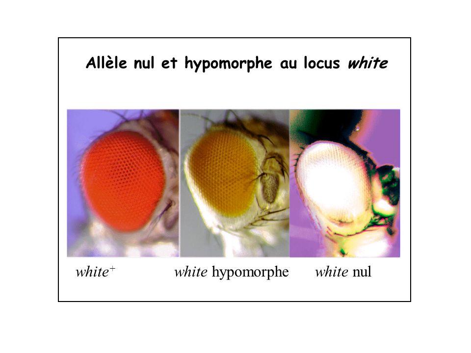 Allèle nul et hypomorphe au locus white