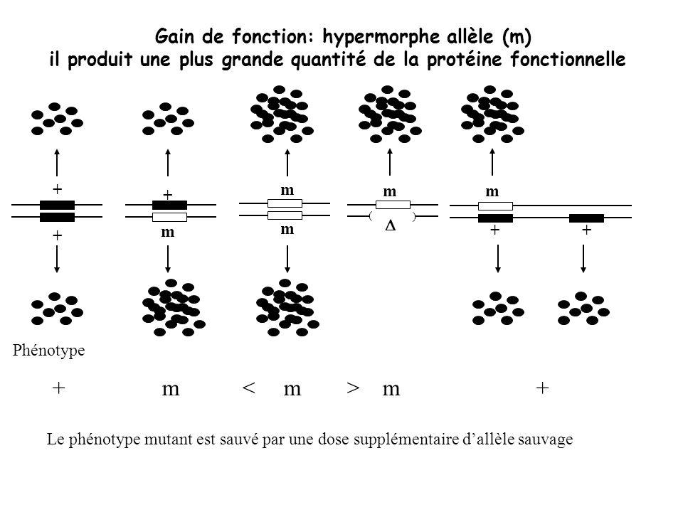 + m < m > m + Gain de fonction: hypermorphe allèle (m)