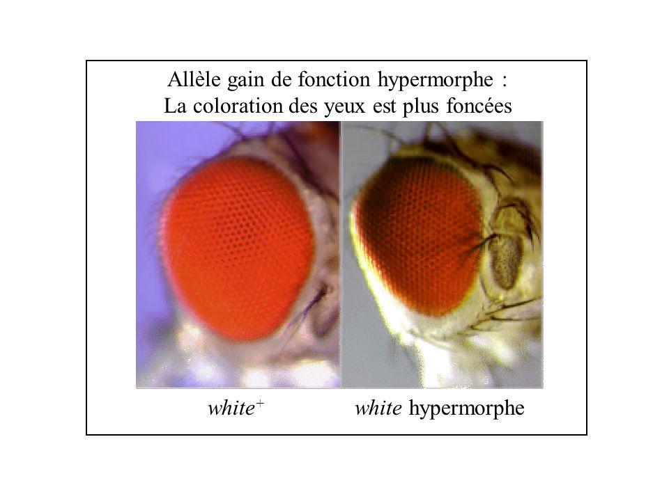 Allèle gain de fonction hypermorphe :