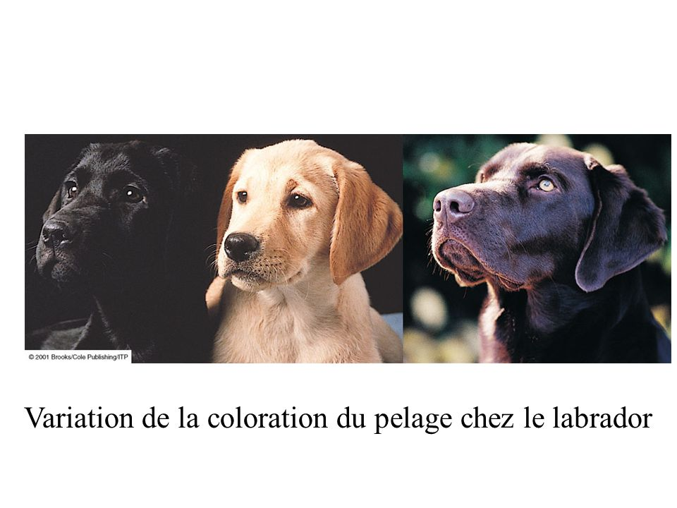 Variation de la coloration du pelage chez le labrador