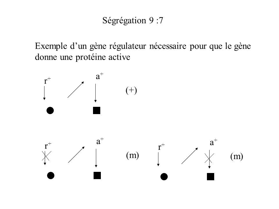 Ségrégation 9 :7 Exemple d'un gène régulateur nécessaire pour que le gène. donne une protéine active.