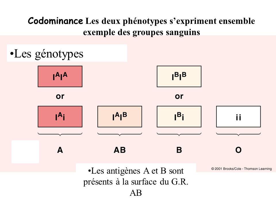 Les antigènes A et B sont présents à la surface du G.R. AB