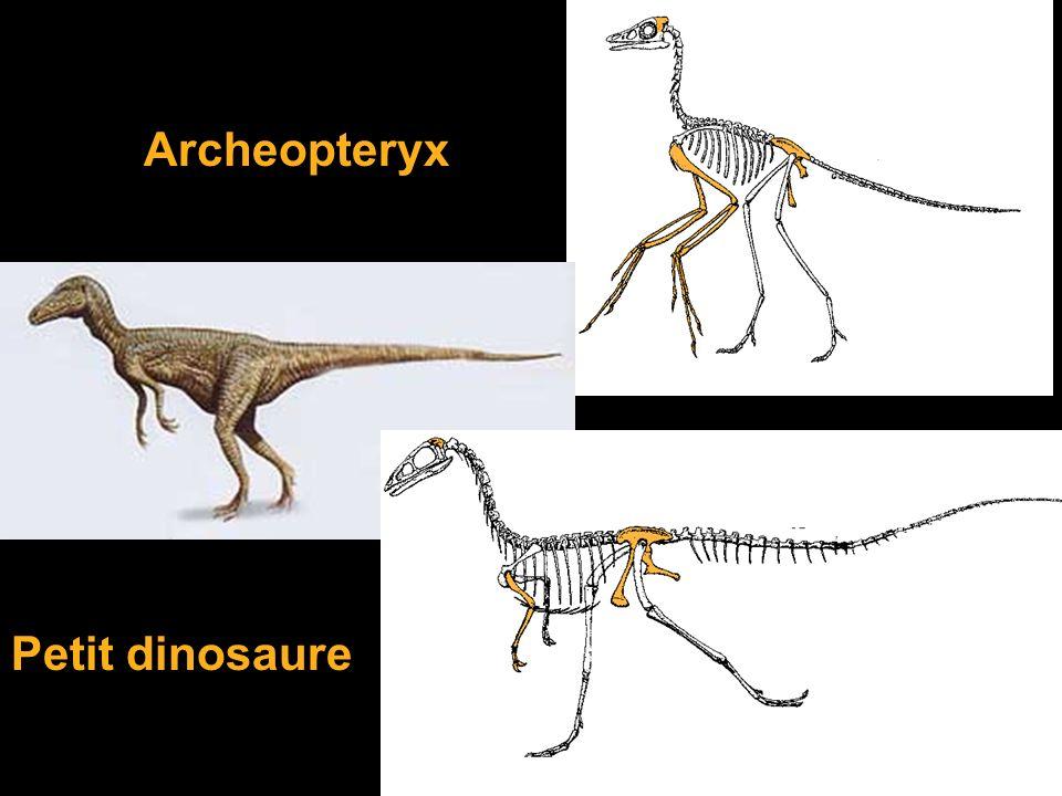 Archeopteryx Petit dinosaure